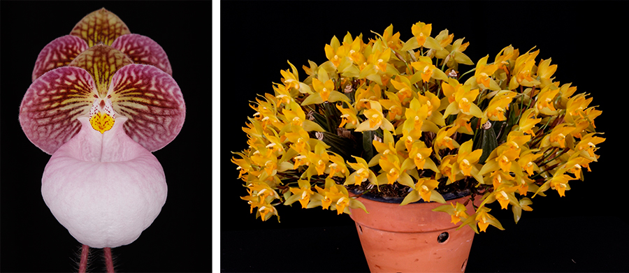 Left: Paphiopedilum micranthum 'Huntington's Perfection' FCC/AOS. Photo Credit: Arthur Pinkers. Right: Lycaste consobrina<br />