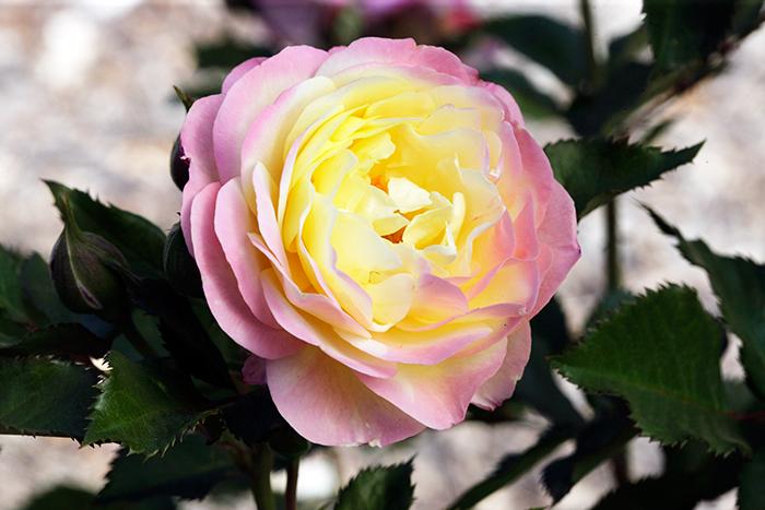 'Huntington's Hundredth' commemorative rose. Photo courtesy of Weeks Roses