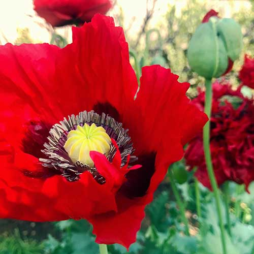 Red poppies in the Herb Garden