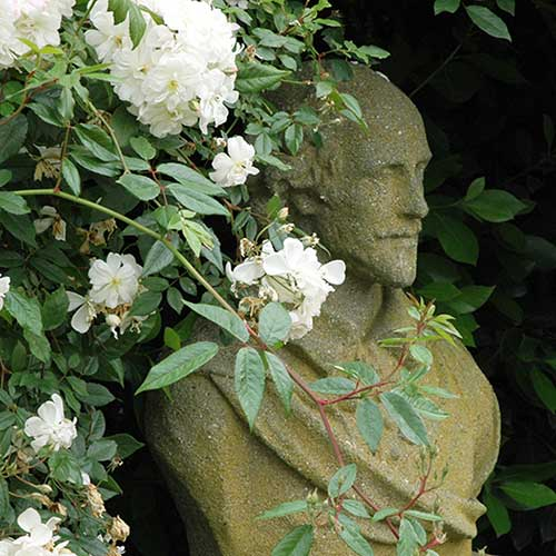 shakespeare bust sculpture in garden with roses