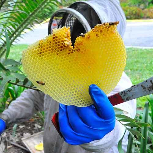 A bee keeper shows some honeycomb