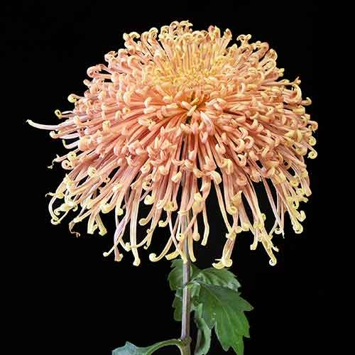 Picture of chrysanthemum