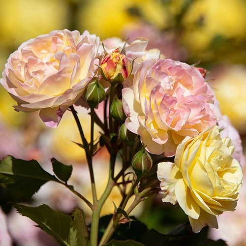 Huntington 100th pink and yellow rose