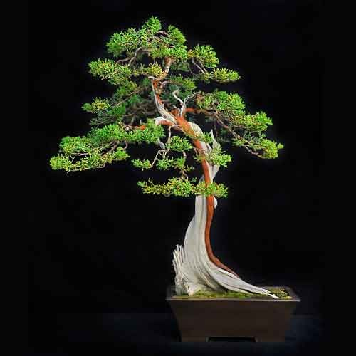 California juniper bonsai