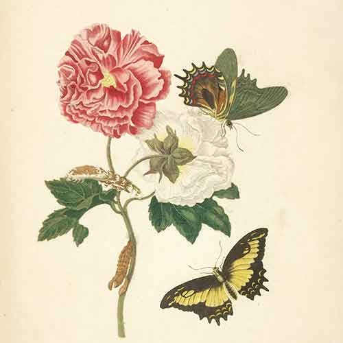 Maria Sibylla Merian illustration of butterfly and flowers