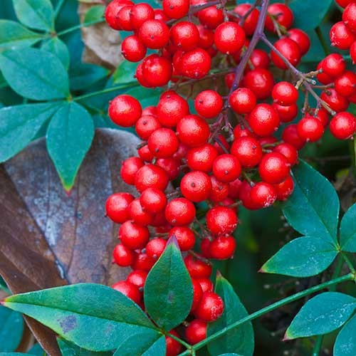 Nandina plant with red berries