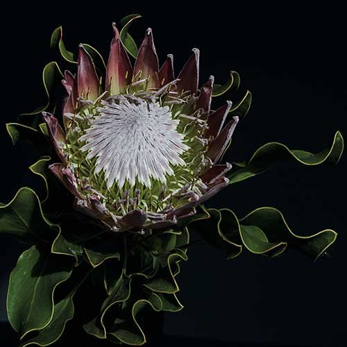 Photograph of protea bloom