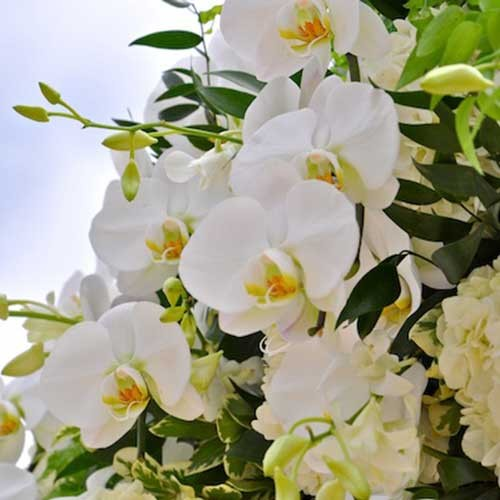 Cluster of white orchids
