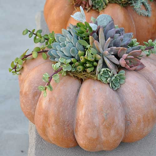 Succulent arrangement inside pumpkin