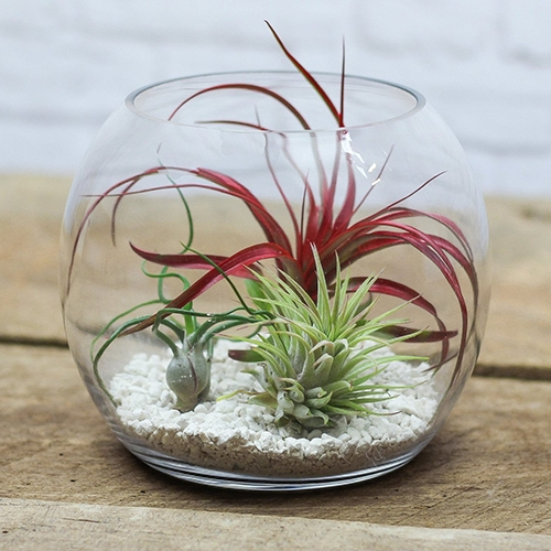 Terrarium with air plant
