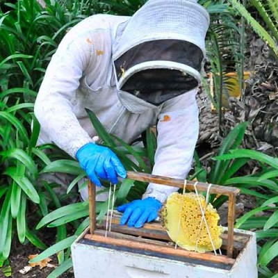 Bee keeper taking out honeycomb
