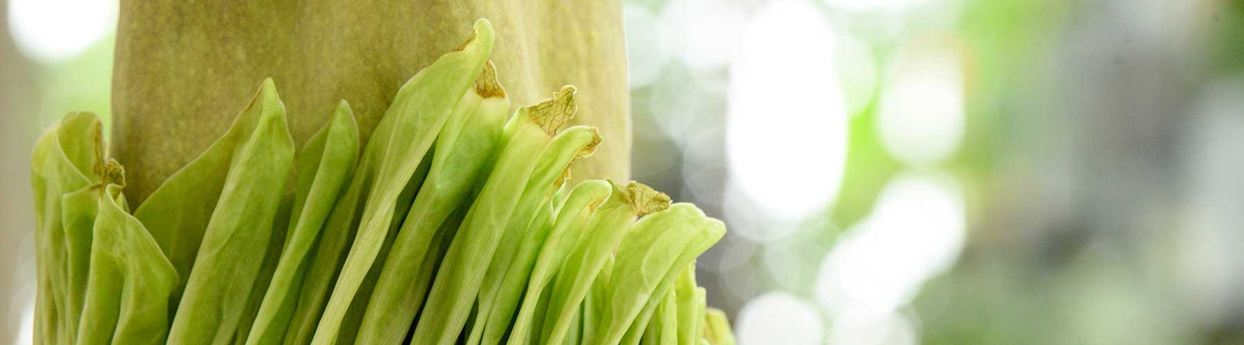 corpse flower close up
