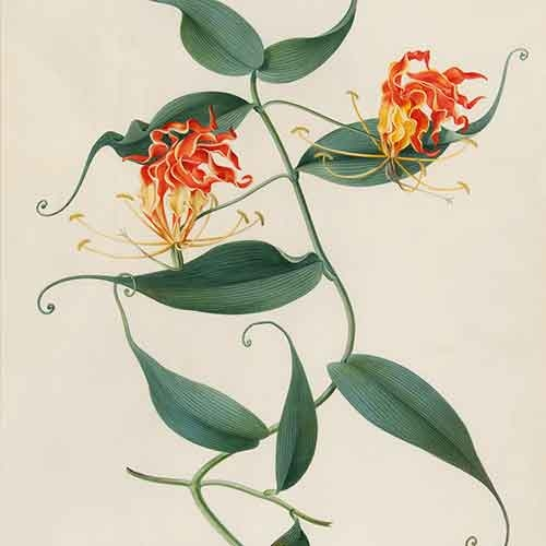 Watercolor of climbing lily