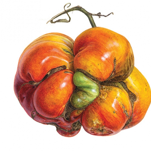 Drawing of heirloom tomato