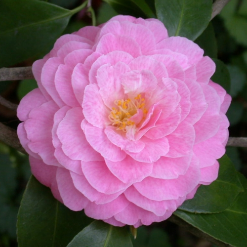 Camellia Collection Tour