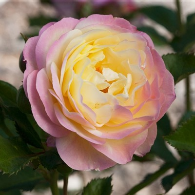 The Huntingtons Hundredth Rose, an old-fashioned rose, soft pastel yellow touched with a blush of orchid pink and cream