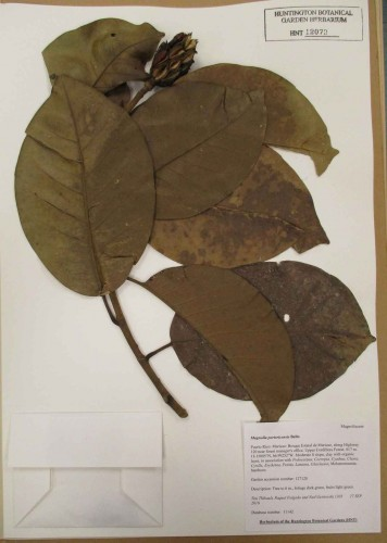 Magnolia Portoricensis botanical specimen. The Huntington Library, Art Museum, and Botanical Gardens.