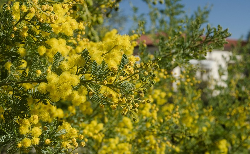 yellow blossoms of acacia chinchillensis