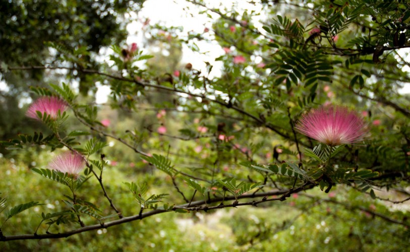pink blooms of acacia trees