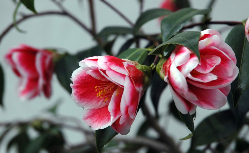 "pink and white camellia tama ""peacock"""