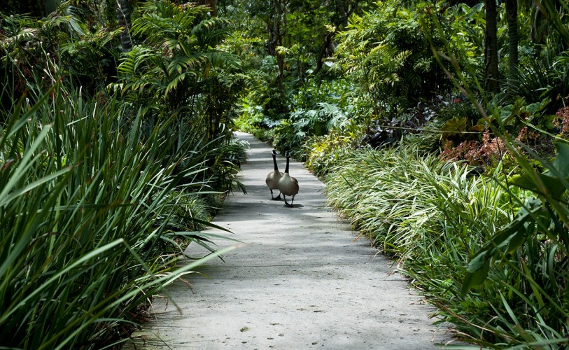 Two Canadian geese waddle down the Jungle Garden pathway