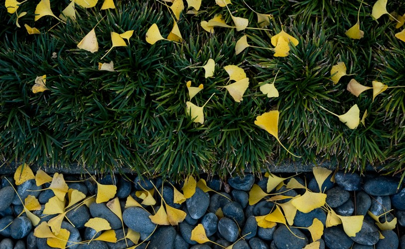 Yellow ginko tree leaves fall on the grass