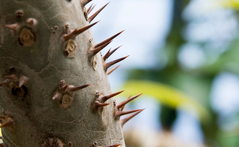 Thorns of a palm tree growing out of the trunk