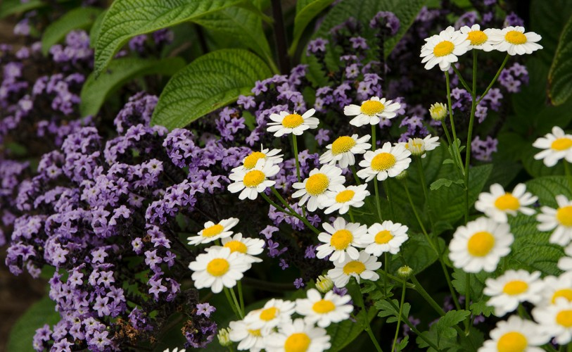 purple helitrope and white feverfew flowers