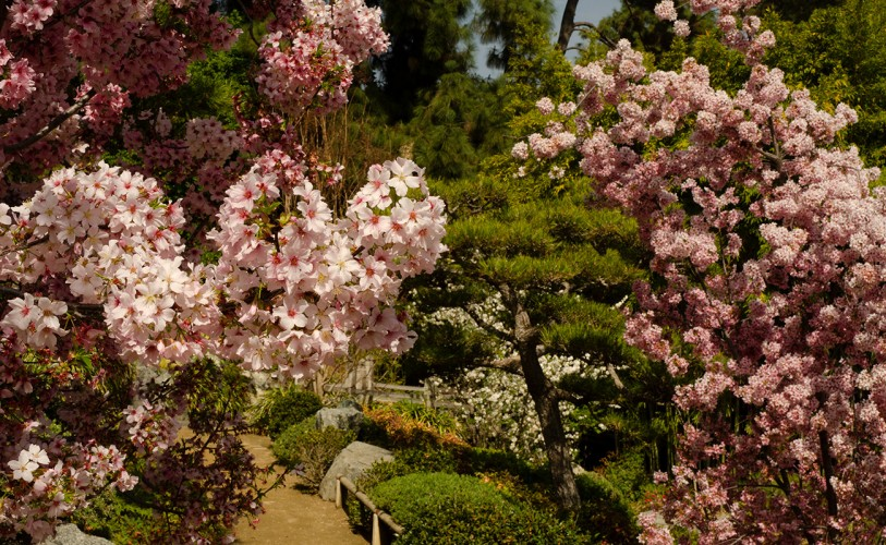 pink peach blossoms bloom on the Japanese Garden trees