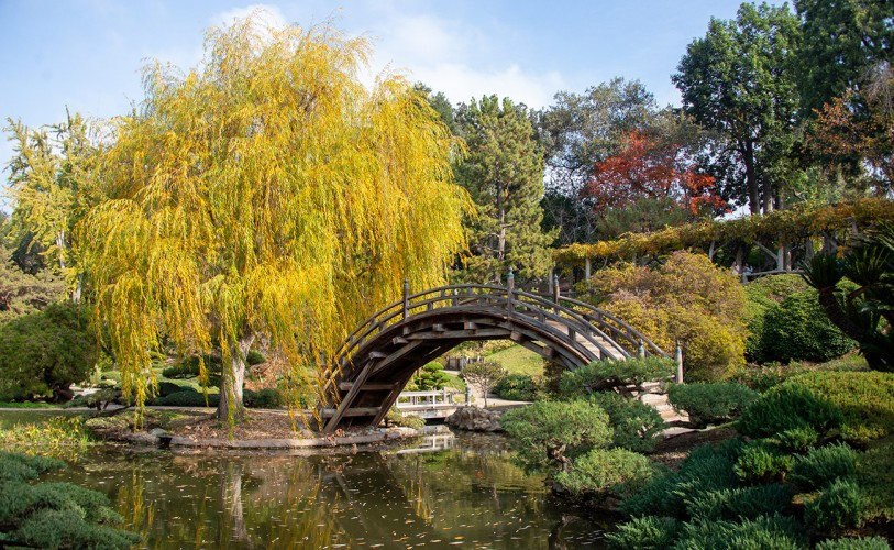 willow tree leaves turning yellow in the fall by Japanese Garden pond