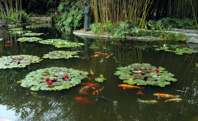 Koi fish swimming in lily ponds