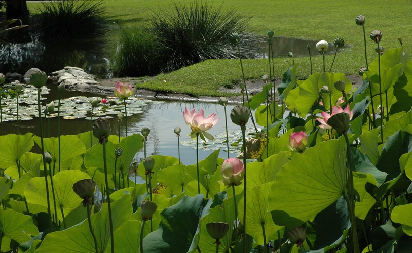 pink lotus flowers grow out of lily ponds