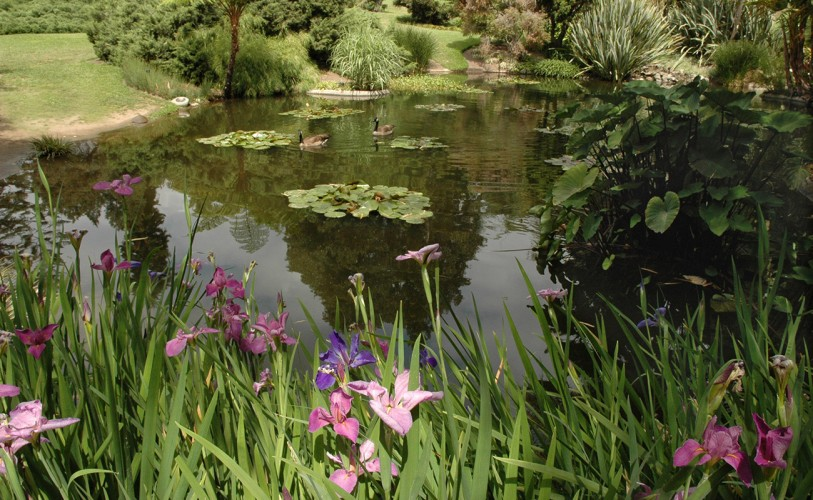 Pink and purple irises grow next to lily ponds