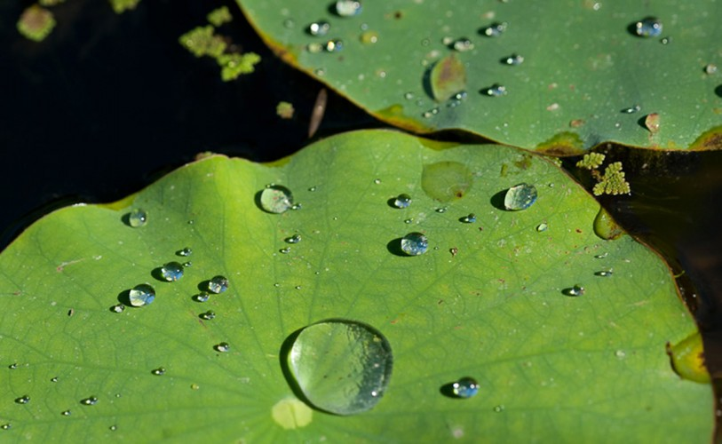 Water drops collect on top of lily pads