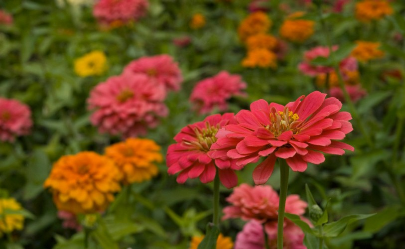 pink and orange zinnia