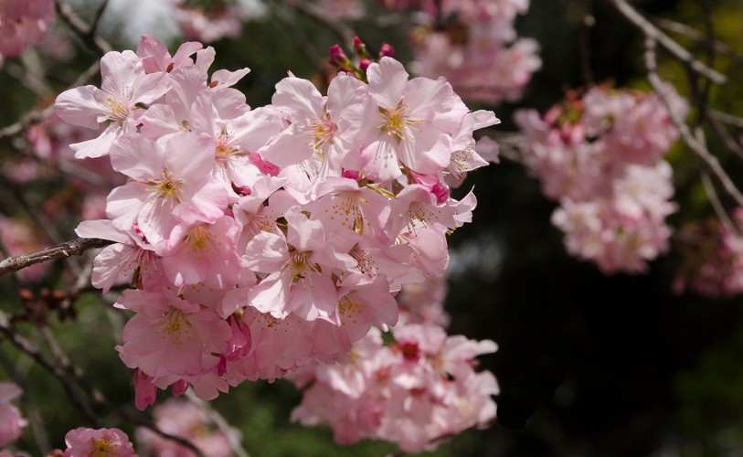 Pink cloud cherry blossoms
