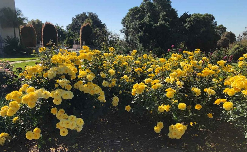 Bushes with yellow roses