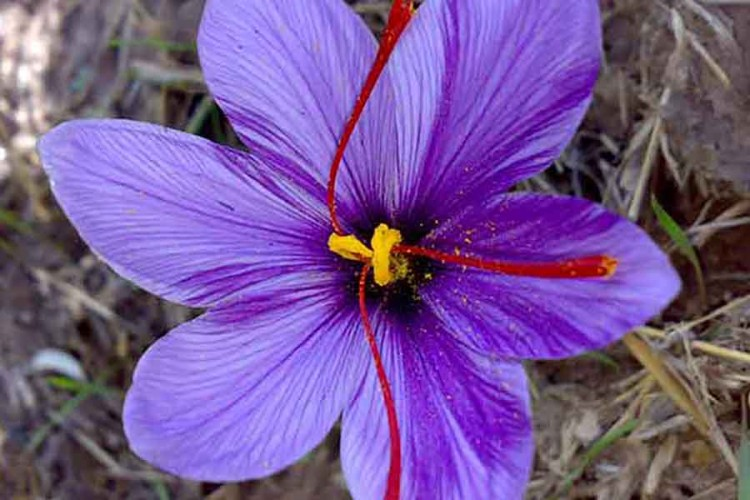 Photo of saffron flower