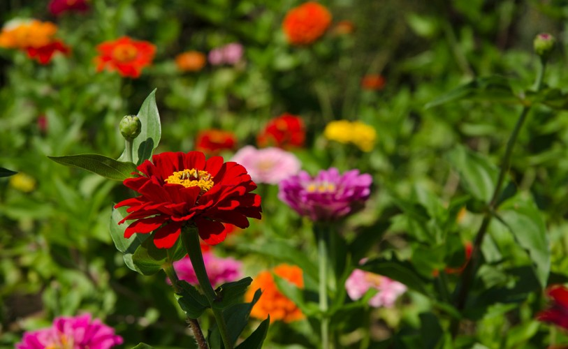 Red, pink, orange, and yellow zinnias