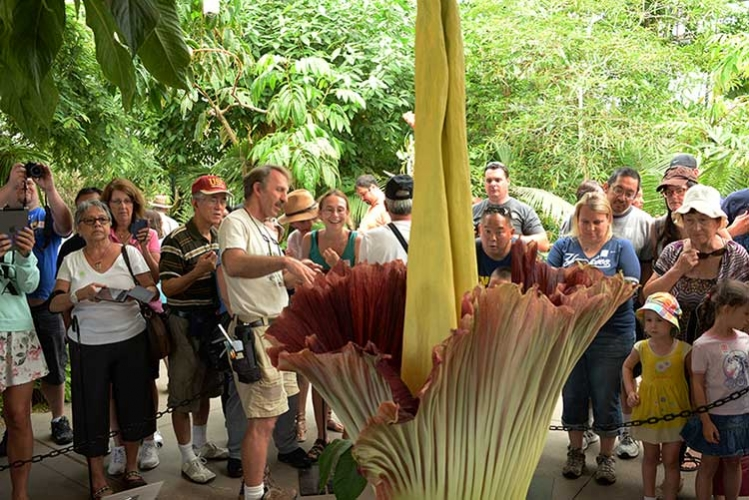 Visitors gather to smell the Corpse Flower's foul stench during the August 2018 bloom.
