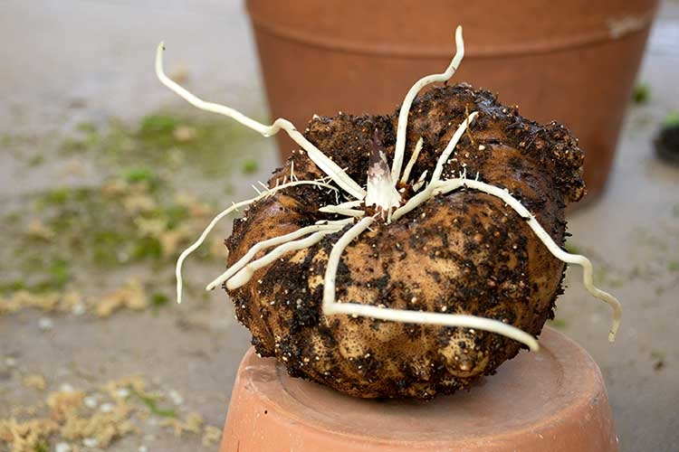 """The plant grows from a large bulb-like tuber or """"corm"""" under the soil."""