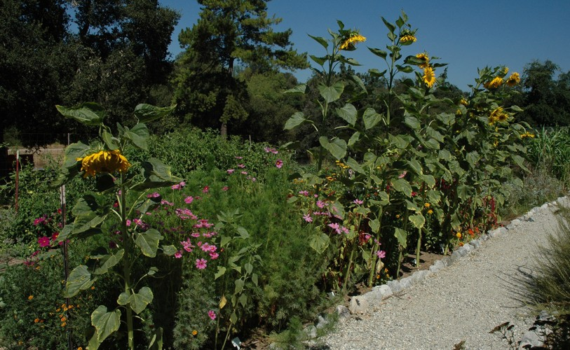 Sunflowers grow next to the garden path