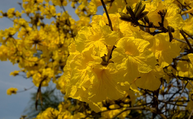 "yellow tabebuia chrysotricha ""golden trumpet"" tree"