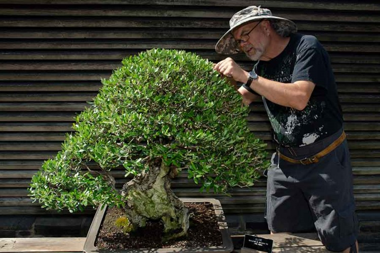 Ted Matson trimming a bonsai
