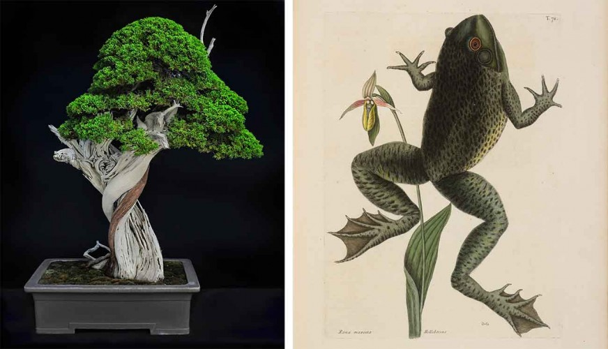 Left: California juniper (Juniperus californica), moyogi or informal upright style bonsai, estimated age of original plant material: 1,000 years. Collected from Jawbone Canyon, Mojave Desert, in 2002, grafted in 2006, and styled by Tak Shimazu, displayed in Keizan Tokoname pot from Japan, donated by the Bergstein Family. Photo by Andrew Mitchell. Right: Mark Catesby, Bull Frog (Rana maxima), Natural History of Carolina, Florida and the Bahama Islands, 1743. The Huntington Library, Art Museum, and Botanica