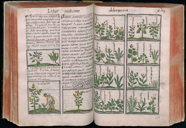 Bernardino de Sahagún (1499–1590) and indigenous artists and scribes, description and illustration of Mexican medicinal herbs in the Historia General de las Cosas de la Nueva España, (General History of the Things of New Spain), also known as the Florentine Codex, ca. 1577, ink and color on paper, Biblioteca Medicea Laurenziana, Florence Ms. Med. Laur. Palat. 220. Reproduced with permission of MiBACT.