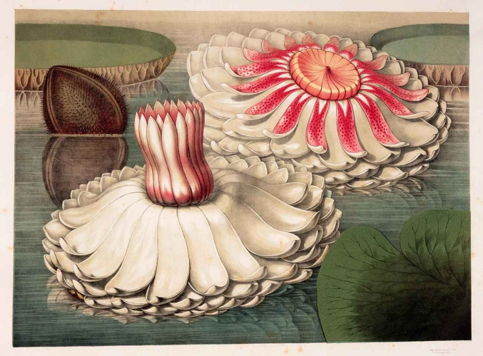 Intermediate Stages of Blooming, in John Fisk Allen (1785–1865), Victoria regia; or, The Great Water Lily of America, Boston: Dutton and Wentworth, 1854, chromolithograph, 15 × 21 in. The Huntington Library, Art Collections and Botanical Gardens.