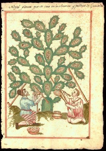 Nopal planta que se cría en la América y que produce la grana (The nopal plant that is grown in America and produces cochineal), in Reports on the History, Organization, and Status of Various Catholic Dioceses of New Spain and Peru, 1620–49, pigment and ink on paper. The Newberry Library, Chicago, Ayer MS 1106 D8 Vault Box 1 Folder 15.