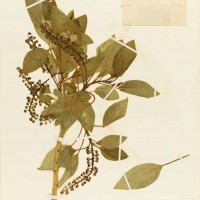 Phytolacca dioica (commonly known as ombu), from The Huntington's botanical collections. Collected April 7, 1931 by Bonnie C. Templeton and Eric Walther. 16 1/2 x 11 1/2 in. The Huntington Library, Art Collections, and Botanical Gardens.