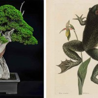 Left: California juniper (Juniperus californica), moyogi informal upright style bonsai, estimated age of original plant material: 1,000 years. Collected from Jawbone Canyon, Mojave Desert, in 2002, grafted in 2006 and styled by Tak Shimazu, displayed in Keizan Tokoname pot from Japan, donated by the Bergstein Family. Photo by Andrew Mitchell. Right: Mark Catesby, Bull Frog (Rana maxima), Natural History of Carolina, Florida and the Bahama Islands, 1743. The Huntington Library, Art Museum, and Botanical